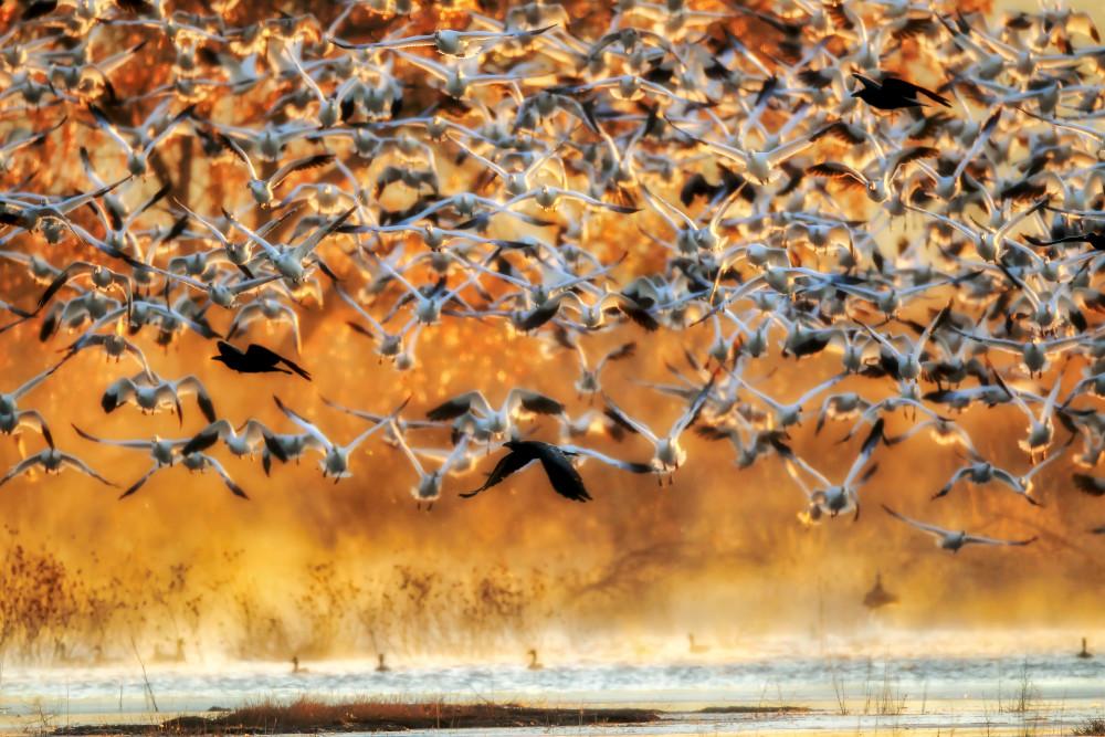 Snow Geese Photography Prints | Robbie George