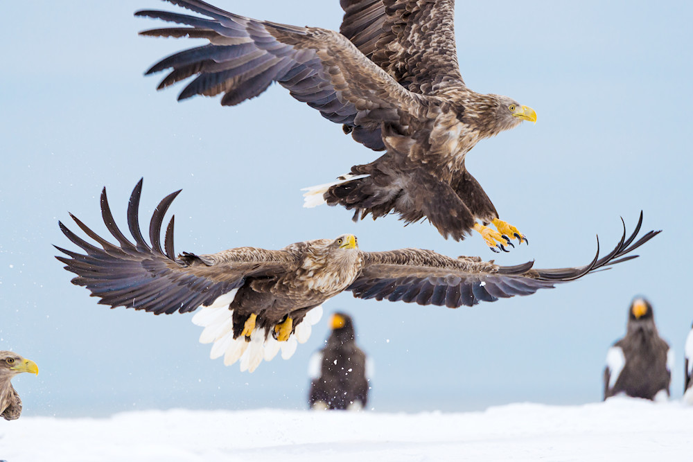 White-tailed eagles in Rausu