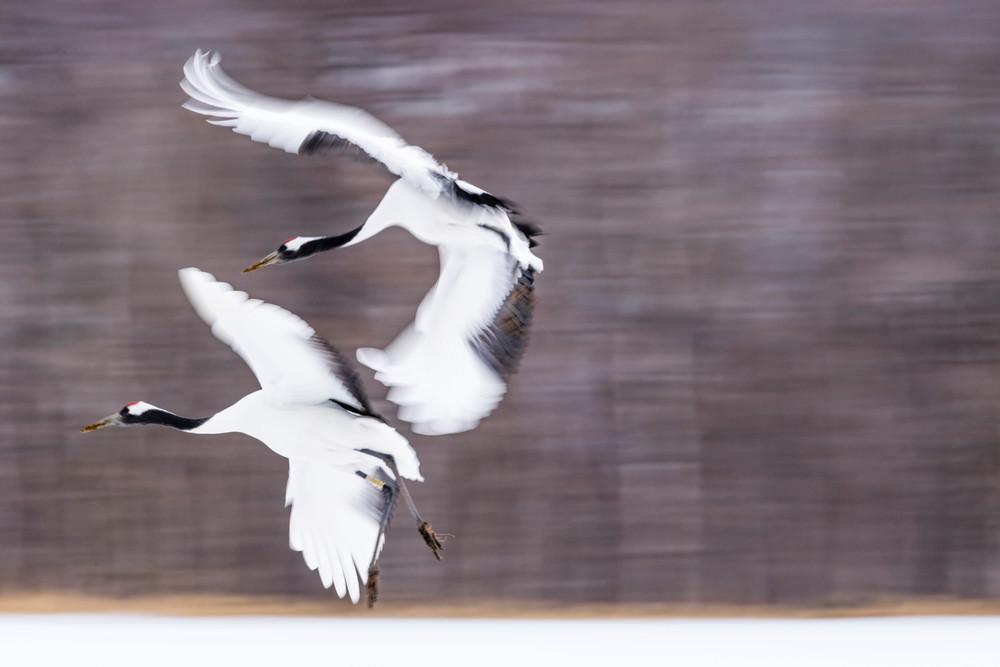 Red-crowned cranes landing