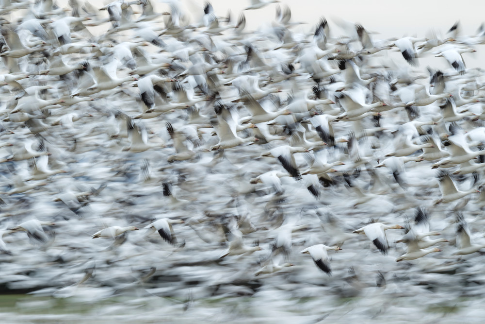 Snow geese at valley road