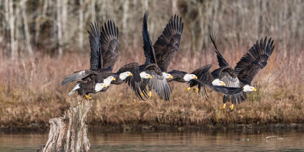 Bald eagle jumping
