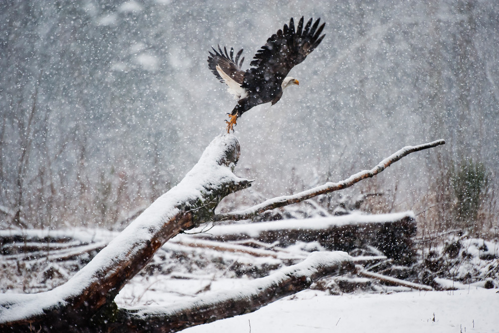 Bald eagle jumping in snow