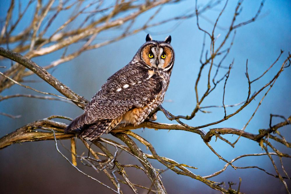 Long eared owl in Stanwood