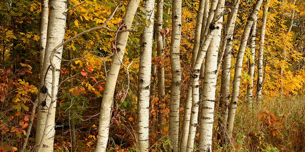 Birches H Pano Photo Print