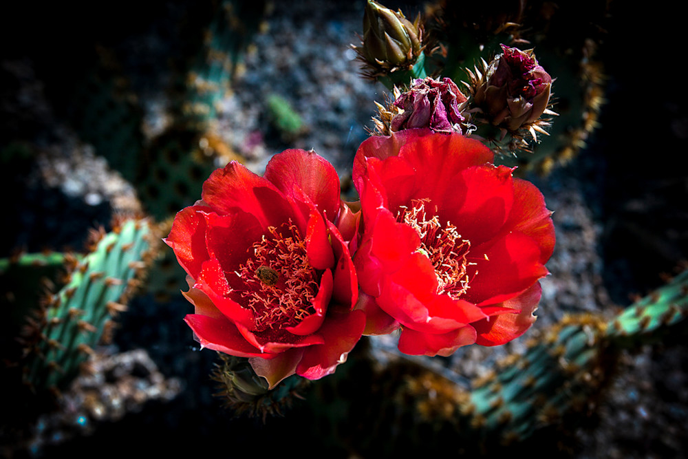 Cactus - Red Pair Photo Print