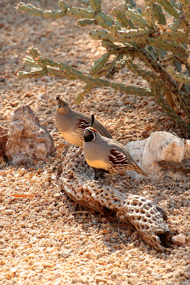Quail - Pair Photo Print