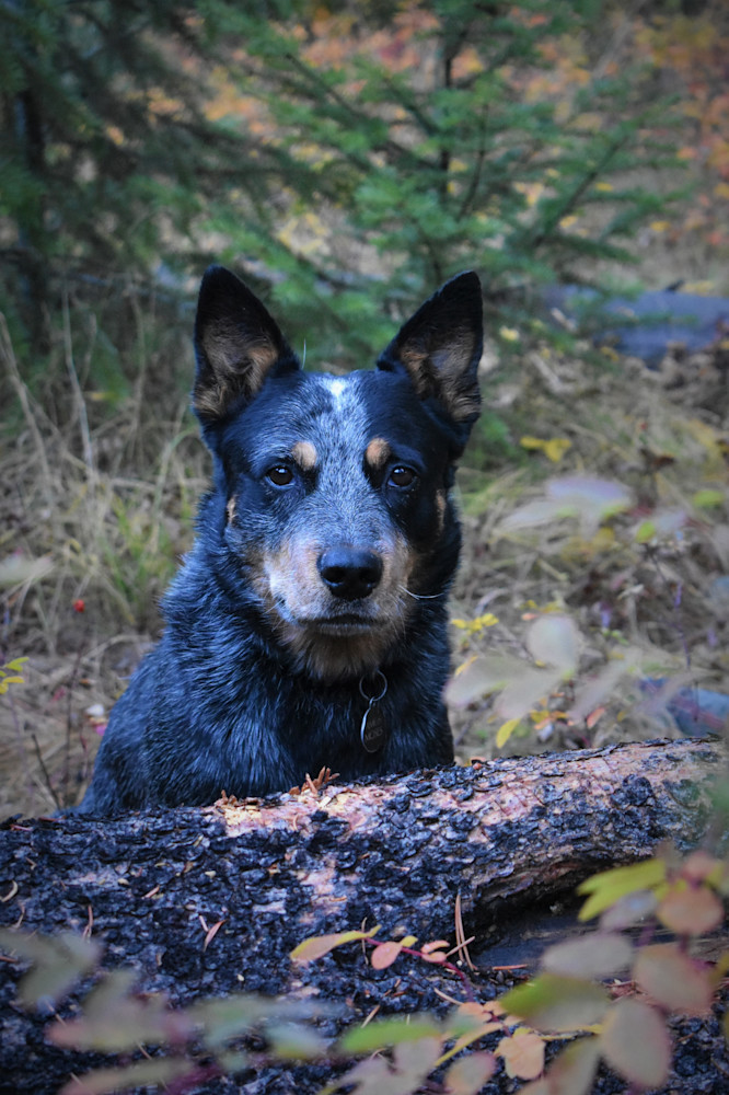 Photograph Of An Australian Cattle Dog In The Forest For Sale As Fine Art