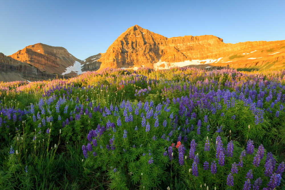 lupine sunrise on timpanogos