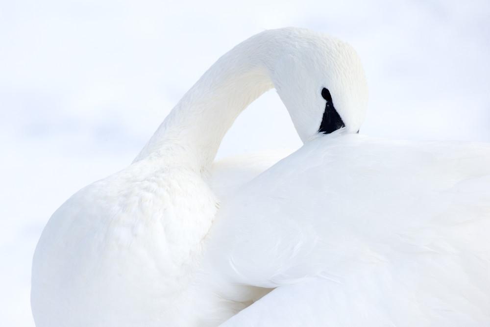 Swan Nature Wall Art Prints | Robbie George