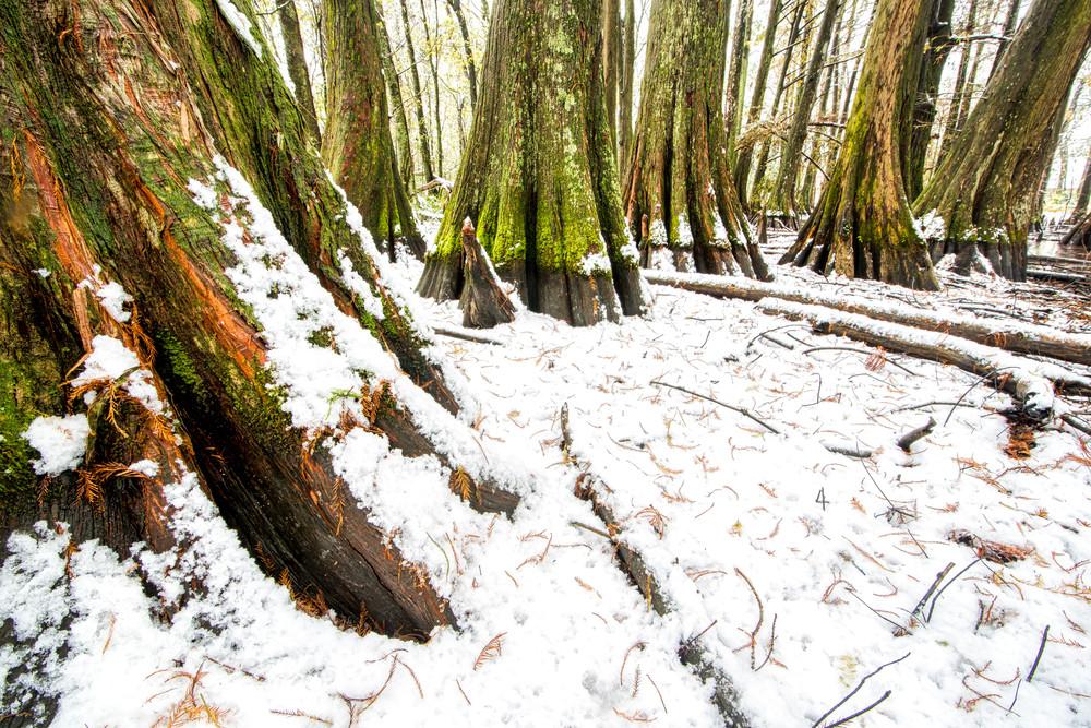 Louisiana snowfall swamp photography