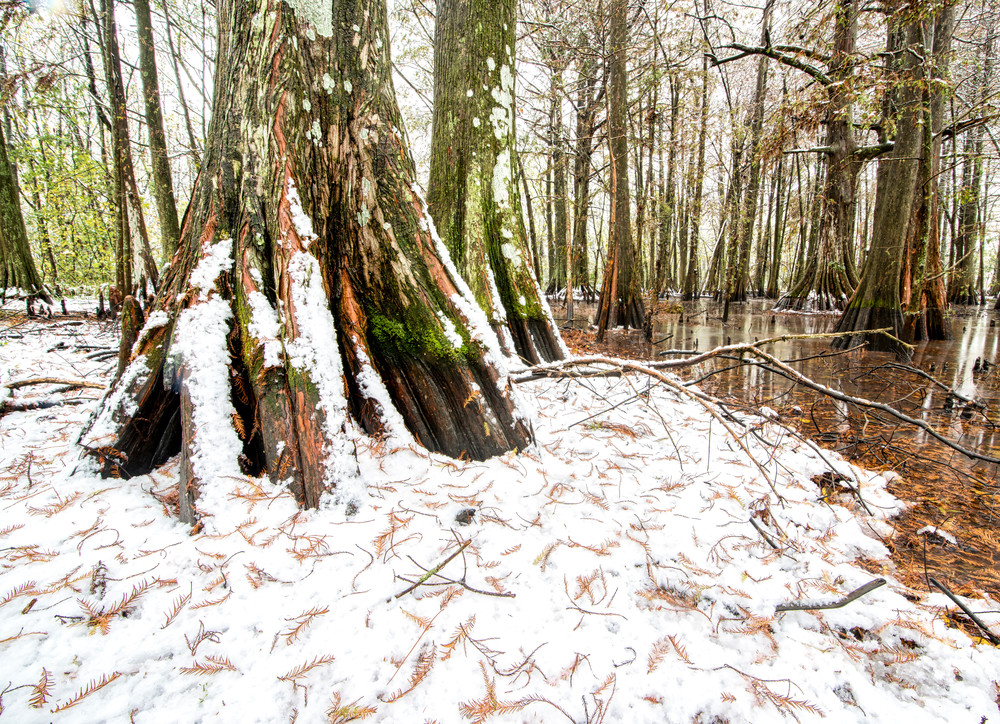 Cypress swamp snowfall
