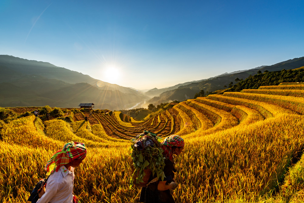 Harvest Time in Sang Nhu Mu Cang Chai