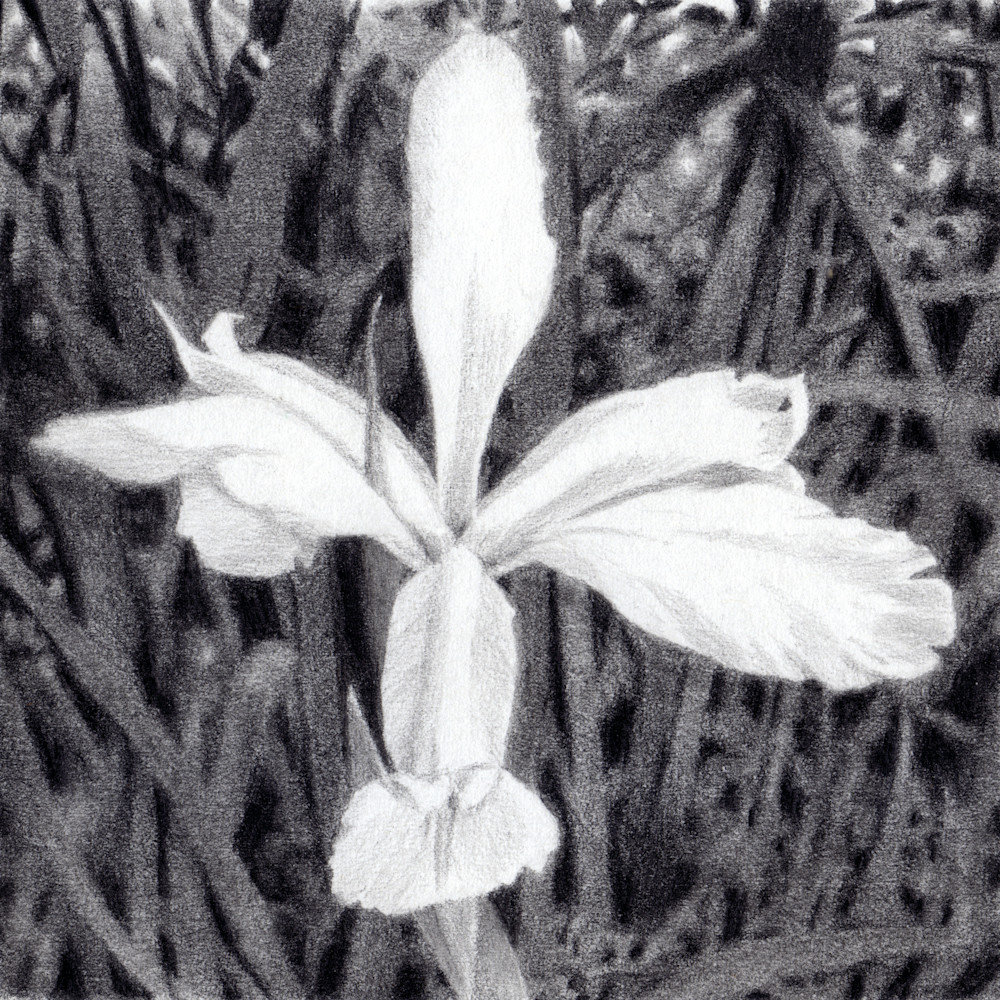 Iris, Drawings, The Art of Max Voss-Nester