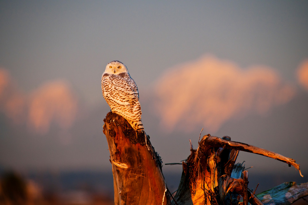 Snowy Owl Sunset in Boundary Bay
