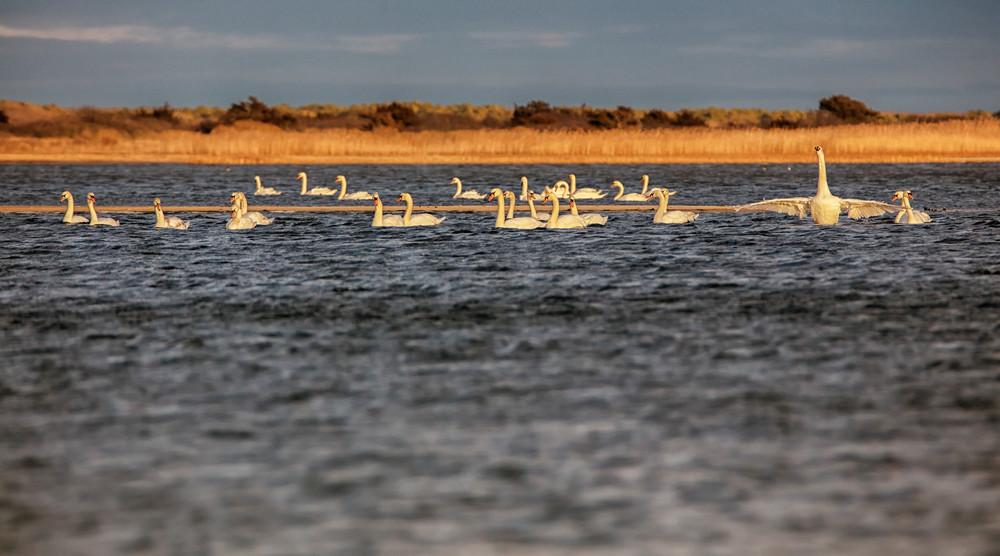 Black Point Beach Swan Convention