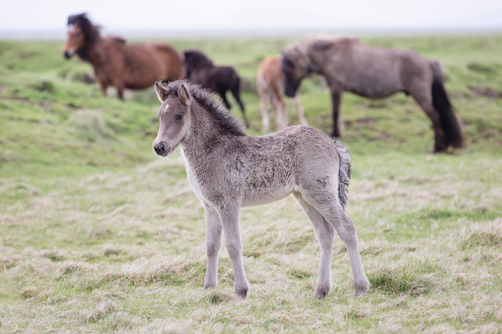 Icelandic Foal Photography Art | Sierra Luna Photography