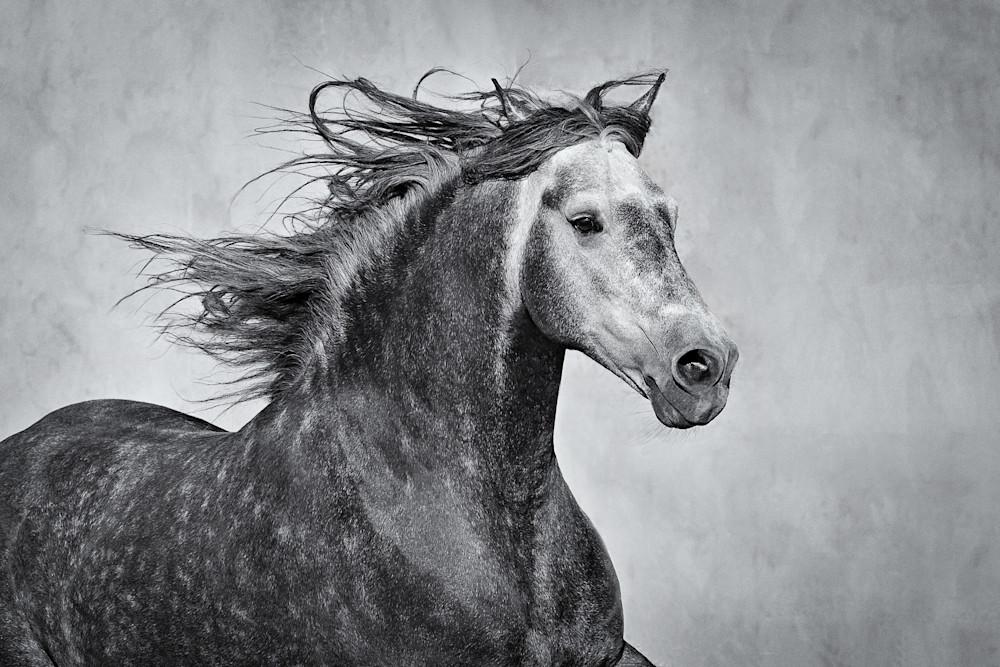 Moroccan Stallion in Profile