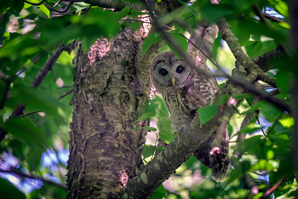 Barred Owl In A Tree by Rick Berk