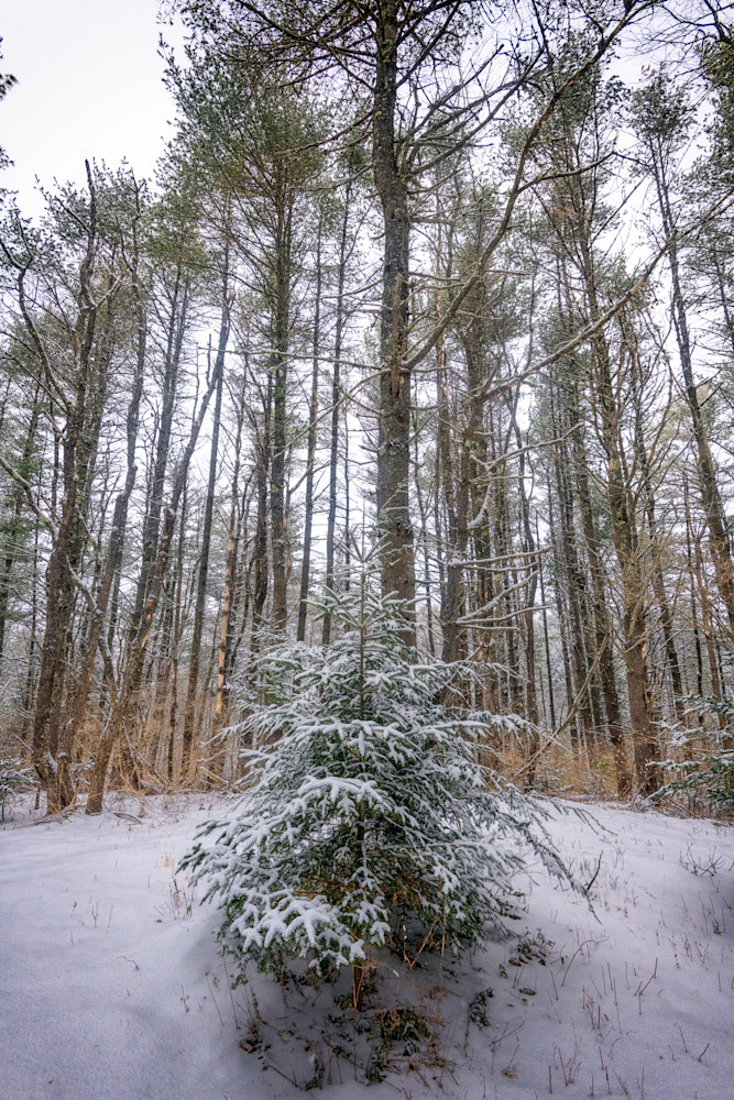 Snowy Evergreen by Rick Berk