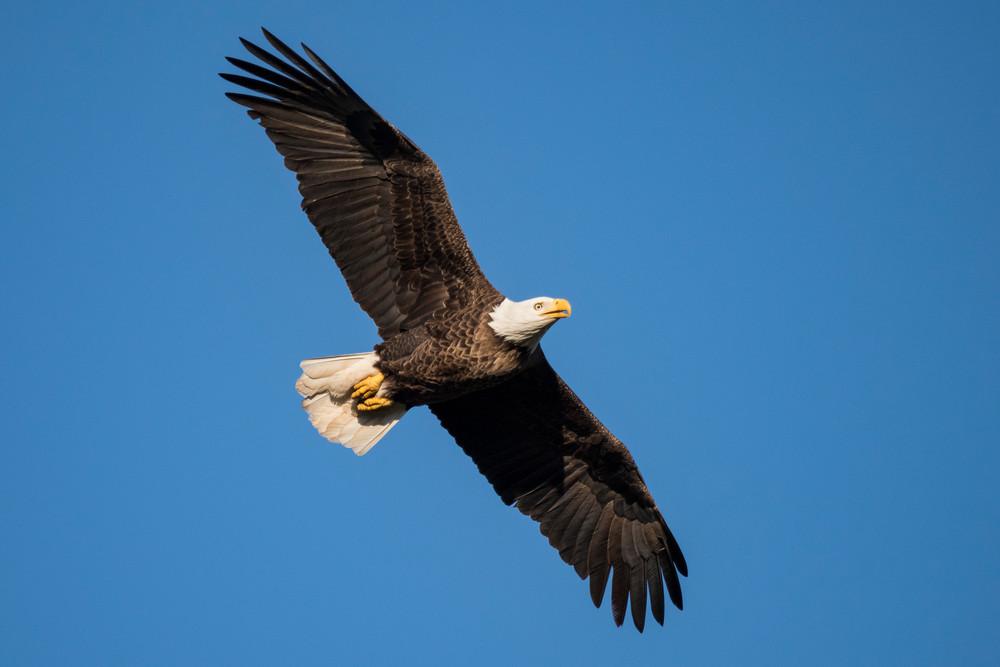 Bald Eagle Flying, Damon, Texas