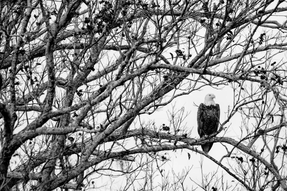 Bald Eagle in Live Oak Tree BW, Damon, Texas