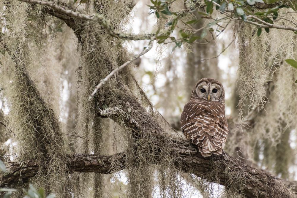 Barred Owl in Live Oak Tree, Damon, Texas