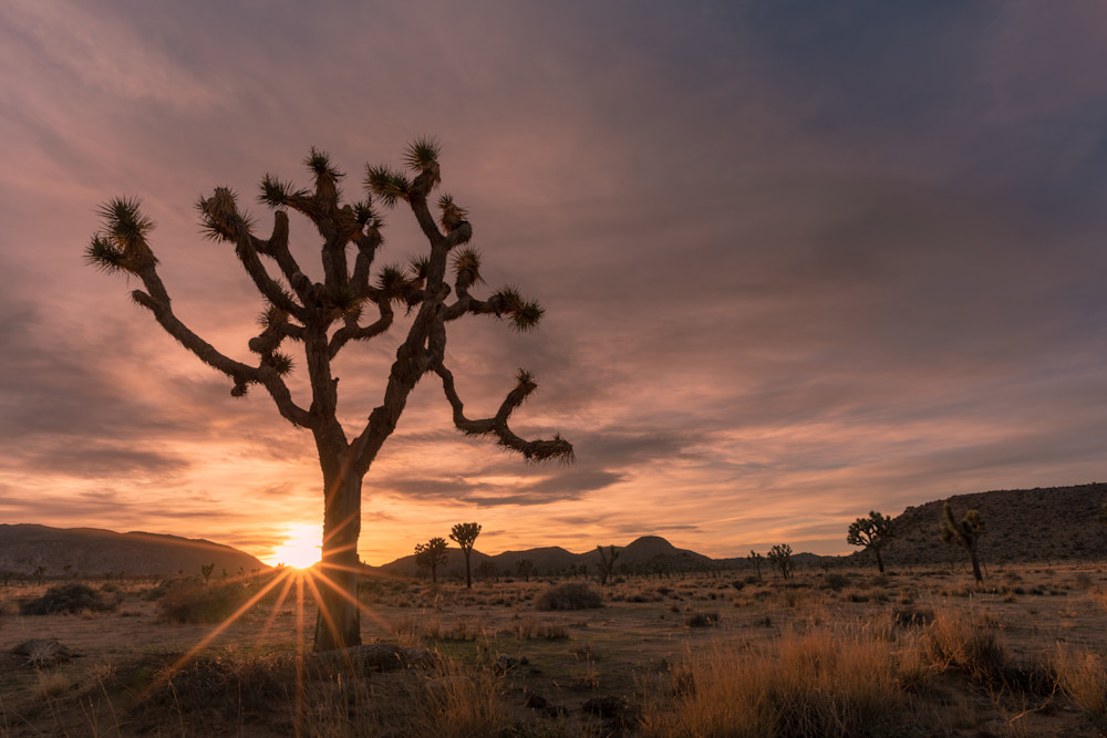 """Joshua Tree Sun Star"" Photograph for Sale as Fine Art."