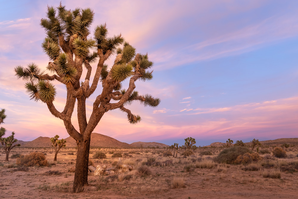"""Pastel Joshua Tree"" Photograph for Sale as Fine Art."