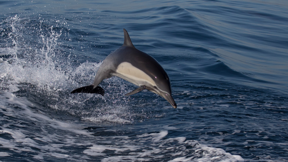 Leaping Dolphin 2