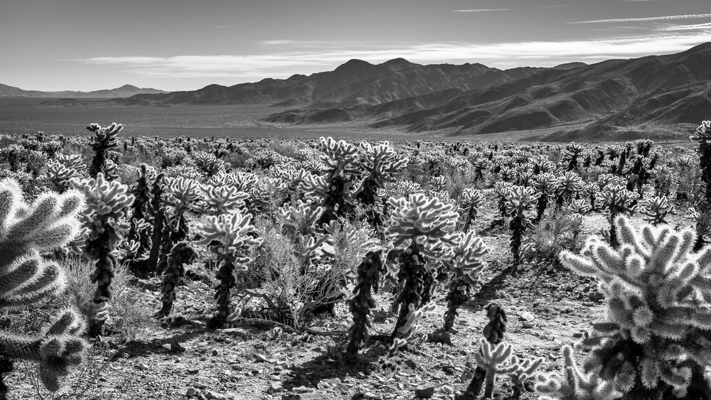Cholla Cactus Garden black and white print