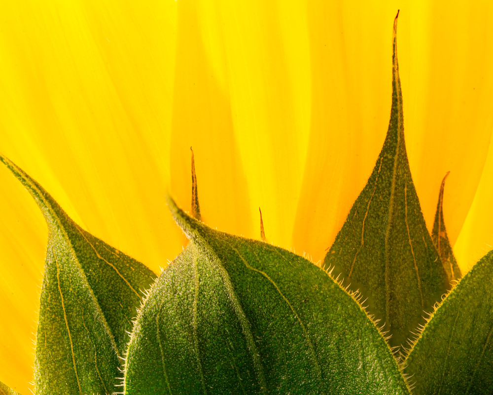 Sunflower Abstract 2
