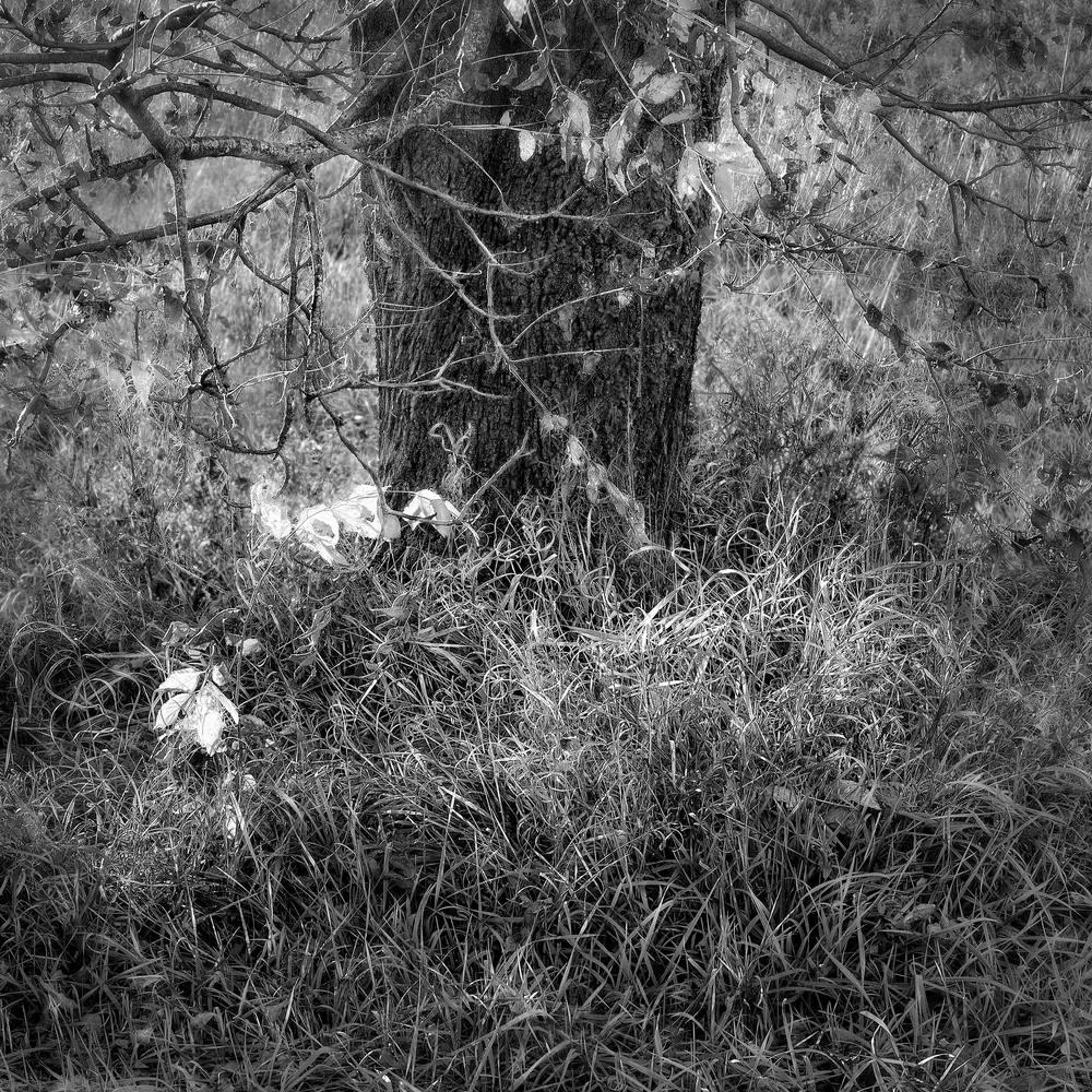 If You Love Trees Collection - bw   Grass Dance-bw. A great fine art black and white photograph of a lovely little tree by David Zlotky