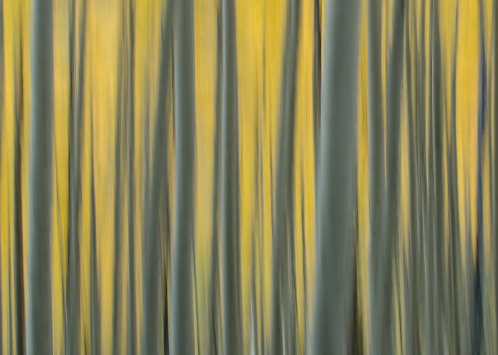 Yellow Aspen Art   Jesse McLaughlin Photography