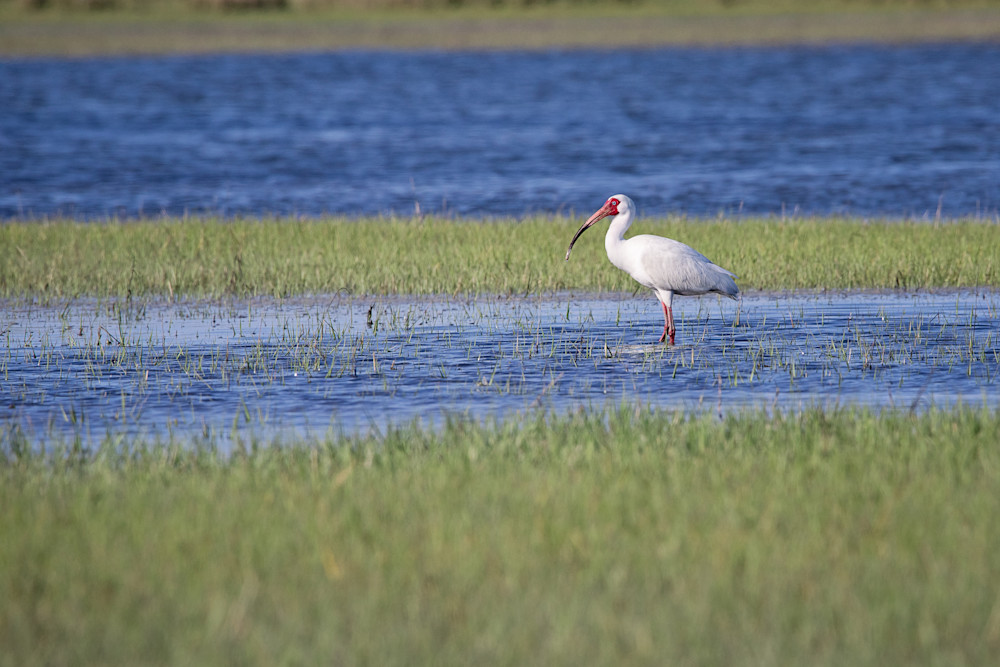 Marsh Ibis Photography Art | Sierra Luna Photography
