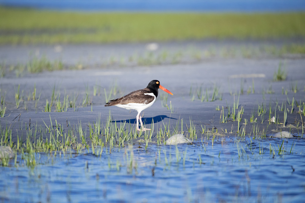 Marsh Oyster Catcher Photography Art | Sierra Luna Photography