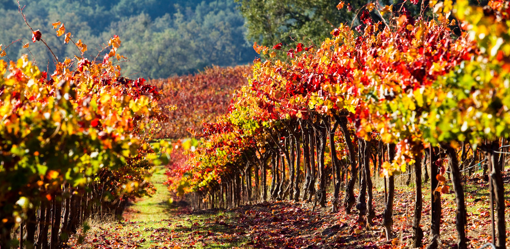 Harvest Vineyard by Josh Kimball Photography