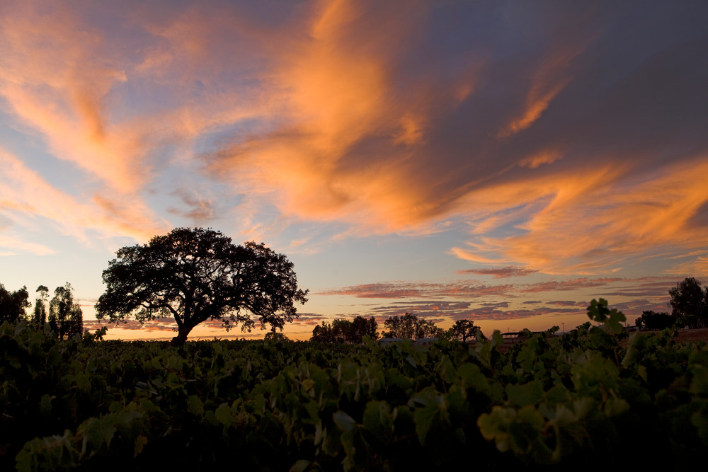 Summer Oak at Sunset by Josh Kimball Photography