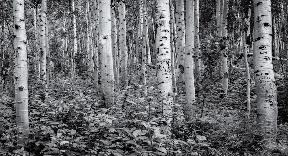 Aspens - Maroon Bell Wilderness Colorado