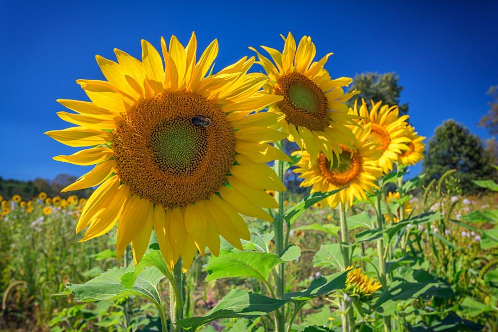 Sunflowers by Rick Berk