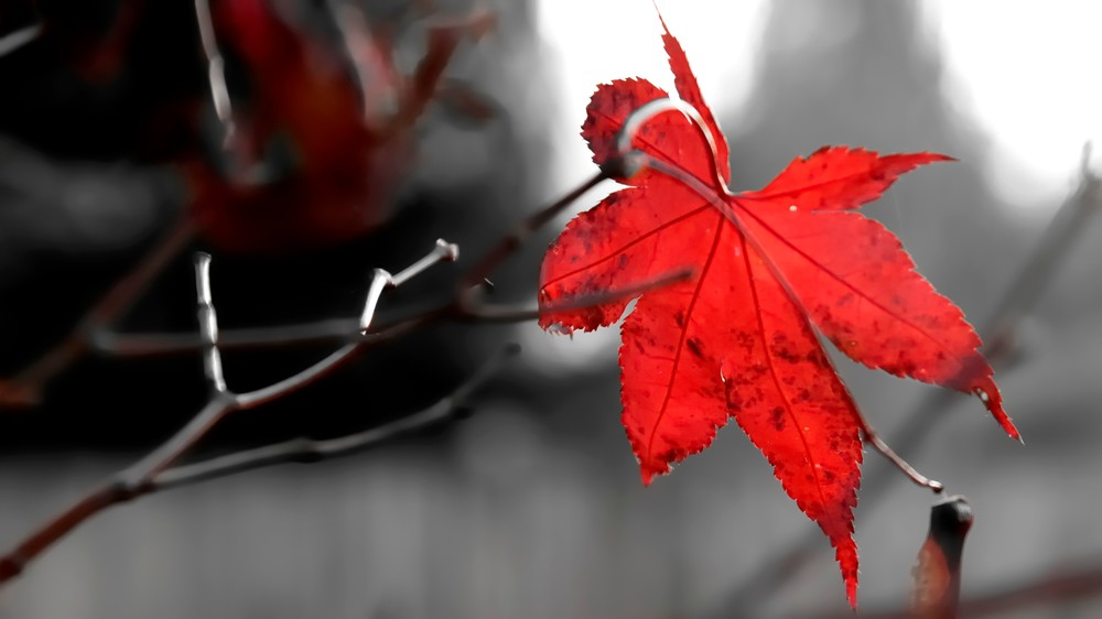 Selective Red Maple Leaf