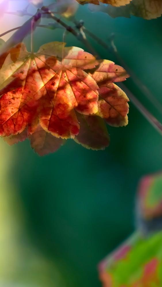 Light on Maple