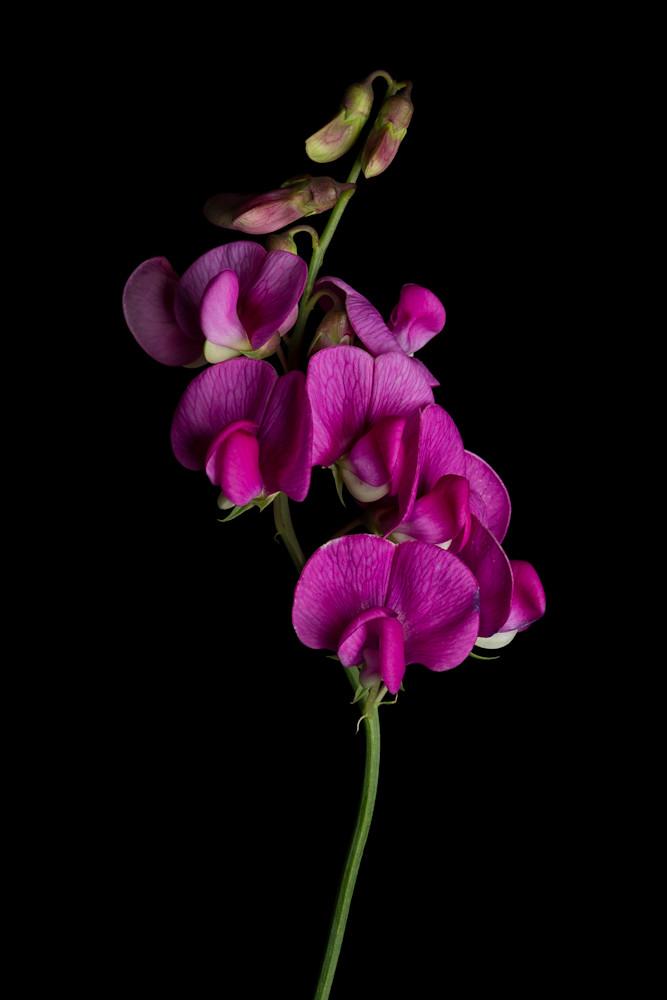 Invasive Beauty-Perennial Pea Lathyrus latifolius IV