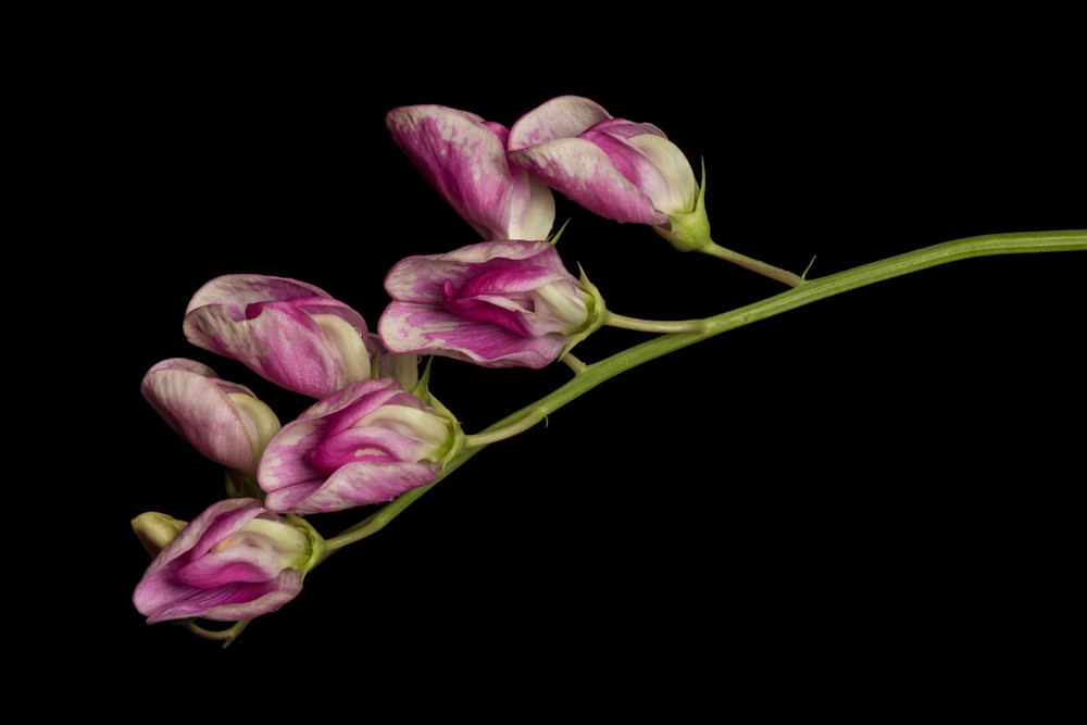 Invasive Beauty-Perennial Pea Lathyrus latifolius