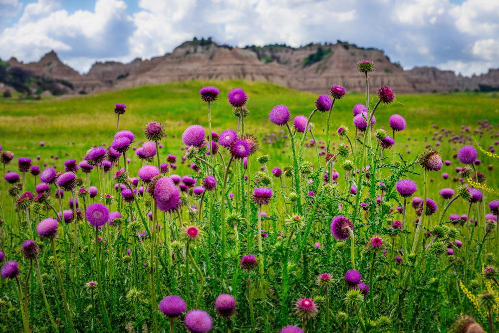 Badlands in bloom photography