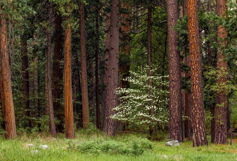 Lone Dogwood