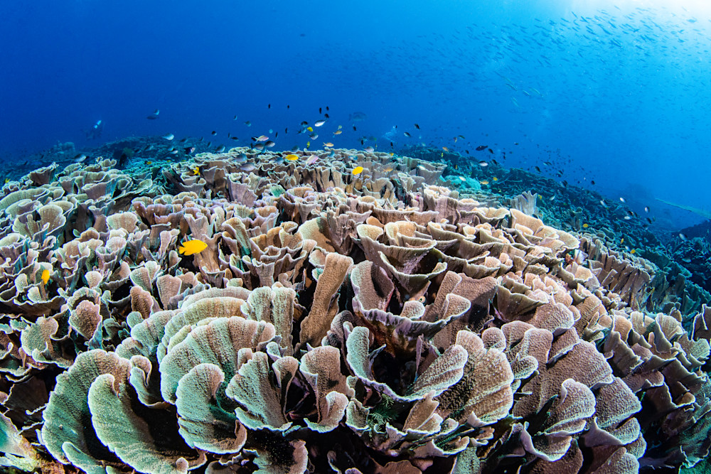 Cabbage Patch is a fine art photograph for sale of a coral reef made up of cabbage like structures.