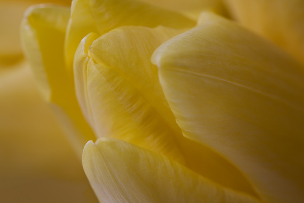 Fine art flower photograph yellow tulip floral photography
