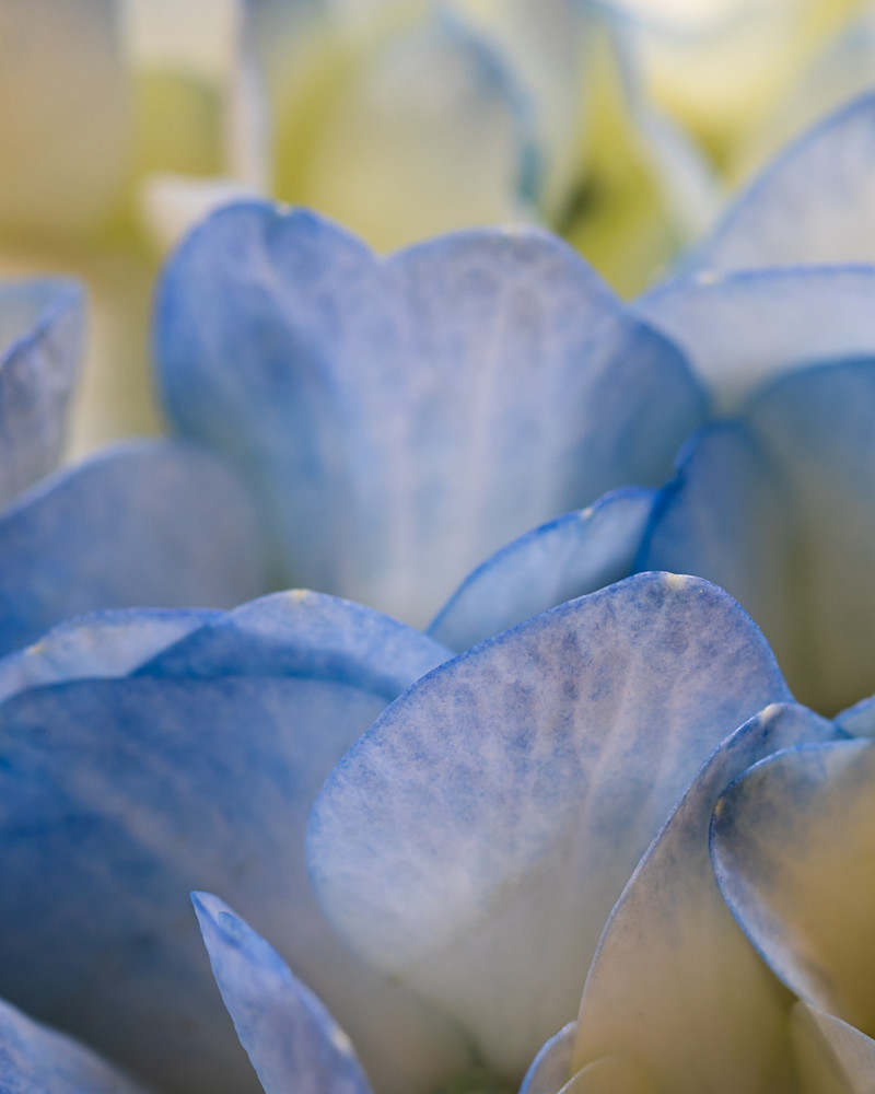 Fine art flower photograph blue hydrangea petals detail floral photography