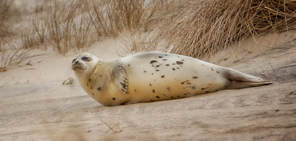 Cape Poge Harbor Seal
