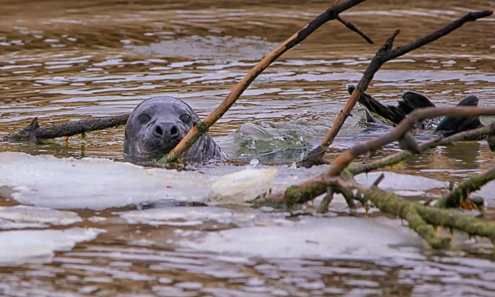 Cape Poge Seal